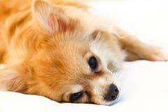 Chihuahua joven de Brown Imagen de archivo