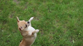Chihuahua jumping on two legs  HD 1080p. Short haired chihuahua jumping on two legs on the grass- tripod, 1920x1080 stock video