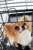 Chihuahua in kennel Stock Images