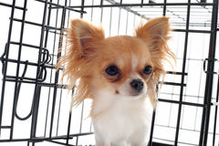 Chihuahua in kennel Royalty Free Stock Photography