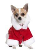 Chihuahua in Kerstman bedekt, 8 maanden oud met een laag Stock Afbeelding