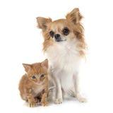 Chihuahua and kitten Stock Image