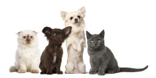 Chihuahua and kitten sitting Stock Photos