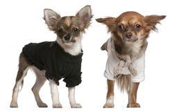 chihuahua klädde valpar upp Royaltyfri Bild