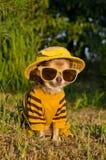 Chihuahua kleideten mit Klage, Hut und Gläsern an Stockfotos
