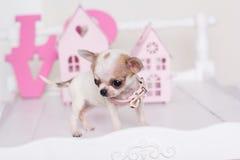 Chihuahua klein puppy dichtbij roze decoratieve huizen Stock Foto's