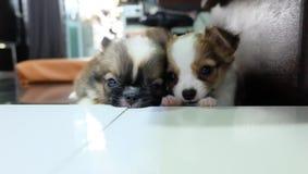 Chihuahua, kleine hond, aftappen royalty-vrije stock fotografie