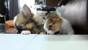 Chihuahua, kleine hond, aftappen royalty-vrije stock afbeeldingen