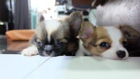 Chihuahua, kleiner Hund, Blutung stockfoto
