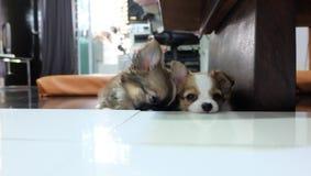 Chihuahua, kleiner Hund, Blutung lizenzfreie stockfotos