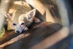 Chihuahua in kooi royalty-vrije stock foto's