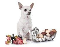 Chihuahua, kuiken en eieren stock fotografie