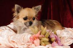 chihuahua kwitnie portret zdjęcia stock