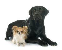 Chihuahua and labrador retriever Stock Image