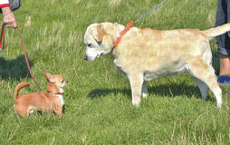 chihuahua and labrador retriever royalty free stock images