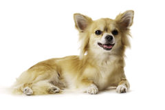 Chihuahua Laid Down Panting Isolated on a White Background royalty free stock photos