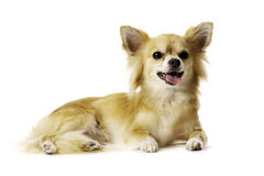 Chihuahua Laid Down Panting Isolated on a White Background. Sand Coloured, Lang Hair Chihuahua Laid Down Panting Isolated on a White Background royalty free stock image