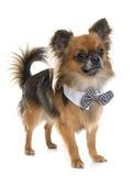 Chihuahua larga del pelo Foto de archivo