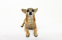 Chihuahua layin g down Stock Images