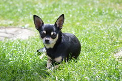 Chihuahua laying down. In a garden Stock Images