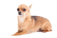 Chihuahua laying down. Happy dog photographed in the studio on a white background stock photography