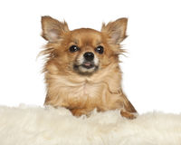 Chihuahua leaning on fur cushion. Against white background stock image