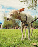 Chihuahua on a leash Royalty Free Stock Images