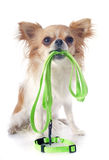 Chihuahua and leash Stock Photo
