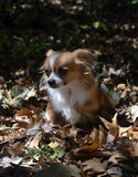 Chihuahua in the leaves stock photos