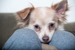Chihuahua between the legs Stock Photos