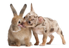 Chihuahua licking a rabbit Royalty Free Stock Image