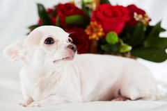 Chihuahua lies on bedding against bunch of flowers Royalty Free Stock Photos