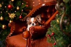 Chihuahua new year stock photo
