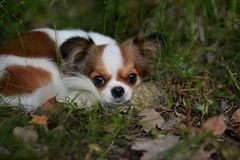 Chihuahua lies on the grass stock photo