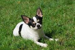 Chihuahua lies on the grass Stock Photography