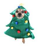 Chihuahua linda Fotos de archivo libres de regalías