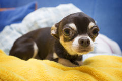 Chihuahua linda Imagen de archivo