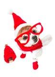 Chihuahua linda del perro en el traje de Papá Noel con el árbol de navidad rojo y los vidrios rojos en los ojos en fondo blanco a Fotografía de archivo