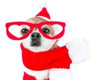 Chihuahua linda del perro en el traje de Papá Noel con los vidrios rojos en los ojos en fondo blanco aislado Año Nuevo chino 2018 Imagen de archivo libre de regalías
