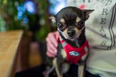 Chihuahua linda en el revestimiento foto de archivo libre de regalías