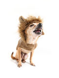 Chihuahua lion. A chihuahua dog isolated on a white background Stock Images