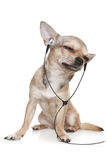 Chihuahua listening to music on headphones.  royalty free stock photos