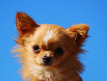 Chihuahua little dog portrait. Outdoor head portrait of a little brown purebred Chihuahua dog with cute facial expression staring in front of blue sky background Stock Images