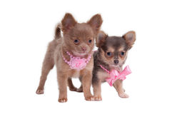 Chihuahua little ladies Stock Images