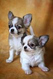 Chihuahua. Little puppies of a chihuahua on a yellow background Stock Image
