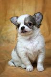 Chihuahua. Little puppies of a chihuahua on a yellow background Royalty Free Stock Image