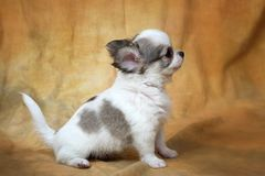 Chihuahua. Little puppies of a chihuahua on a yellow background Royalty Free Stock Photos
