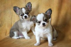 Chihuahua. Little puppies of a chihuahua on a yellow background Royalty Free Stock Images