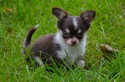 Chihuahua 22 Stock Image