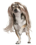 Chihuahua with long hair wig, 3 years old Royalty Free Stock Images
